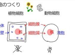 【中学2年・理科 1-2】植物細胞と動物細胞の違い