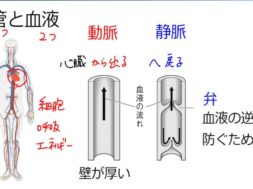 【中学2年・理科 2-2】血液と血管