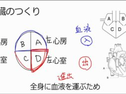 【中学2年・理科 2-3】心臓と血液の循環