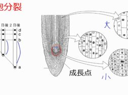 【中学3年・理科 1-1】タマネギの根の観察