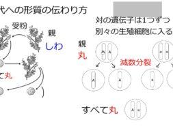 【中学3年・理科 2-2】メンデルの実験 ①親から子