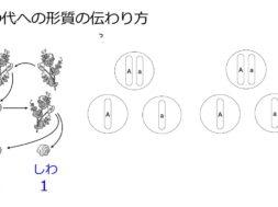 【中学3年・理科 2-3】メンデルの実験 ②子から孫