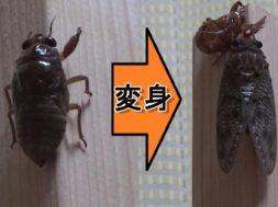 【小学校3年理科 1-1-1】完全変態 セミの変態~幼虫から成虫へ~