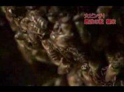 オオスズメバチを撃退する日本ミツバチ。その方法とは?